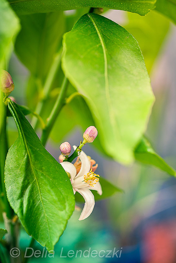Lemon Flower