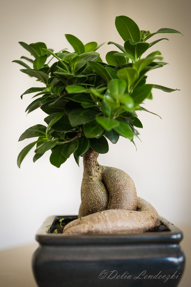 grafted banyan fig