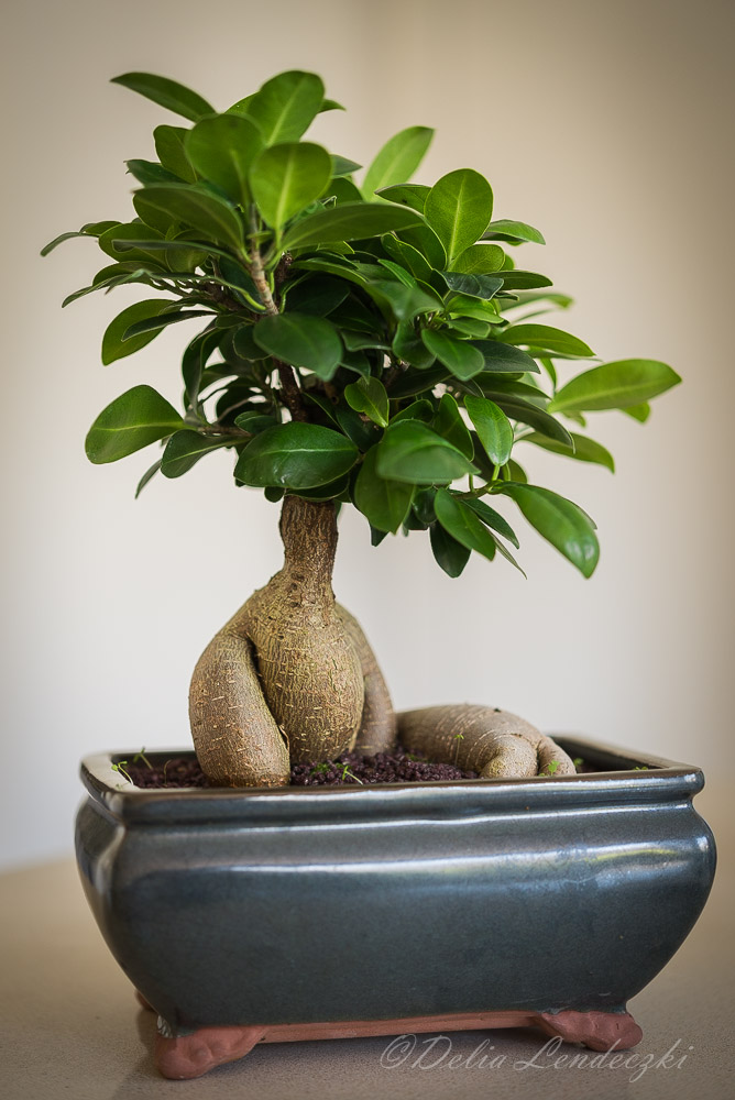 grafted banyan-fig